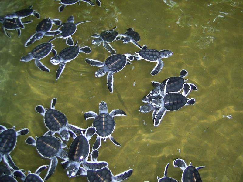 Kosgoda turtle hatchery, Sri Lanka